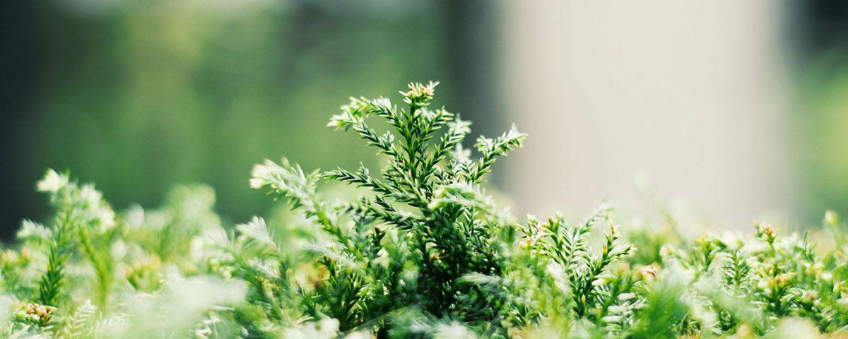 connifères, arbustes